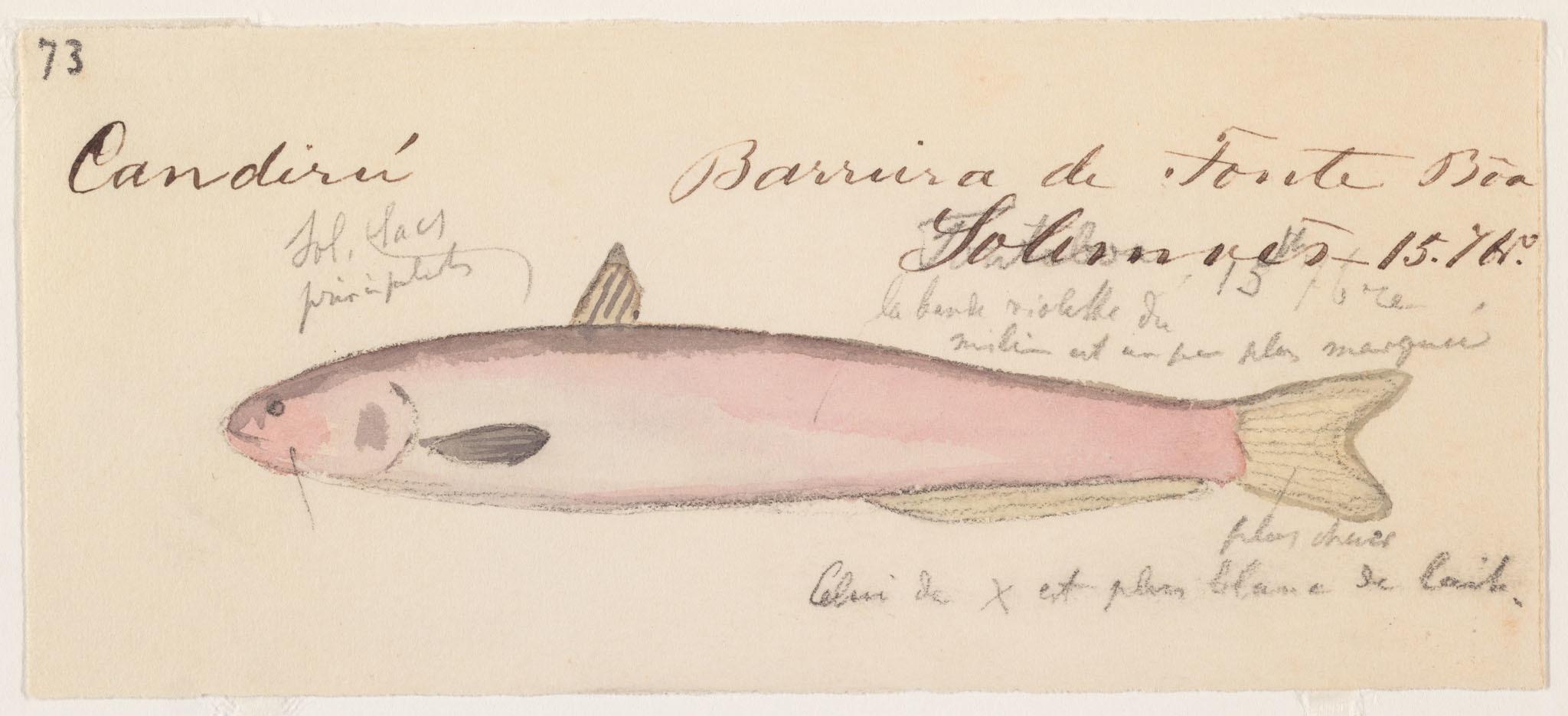 Image of <i>Cetopsis candiru</i> Spix & Agassiz 1829