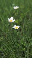 Image of Snowdrop Anemone