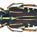 Image of <i>Pleuronota elongata</i> (Gory & Percheron 1833)