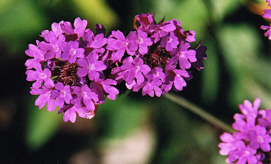 Image of <i>Verbena rigida</i> Spreng.