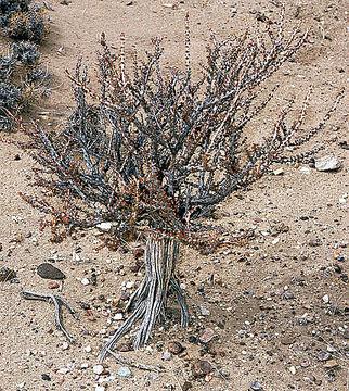 Image of <i>Acantholippia seriphioides</i> (A. Gray) Moldenke