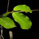 Image of <i>Mesechites trifidus</i> (Jacq.) Müll. Arg.