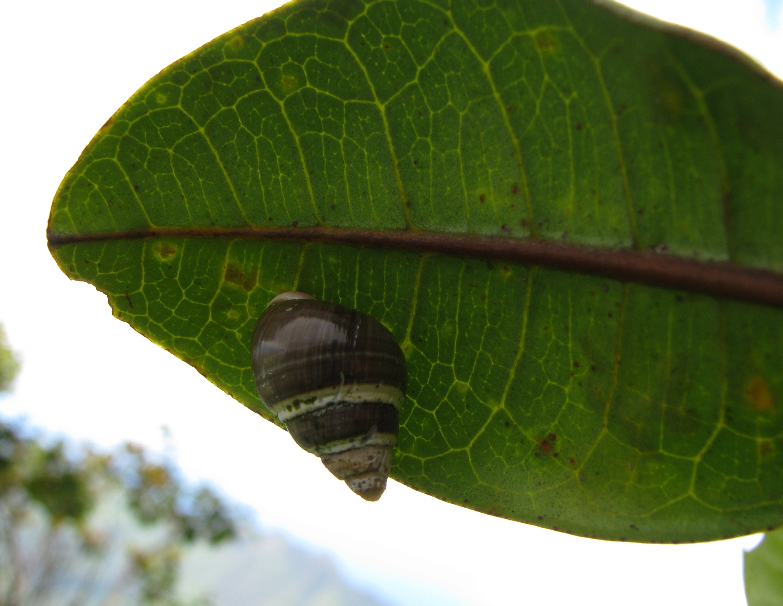 Image of Oahu tree snail