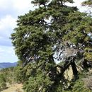 Image of Spanish Fir