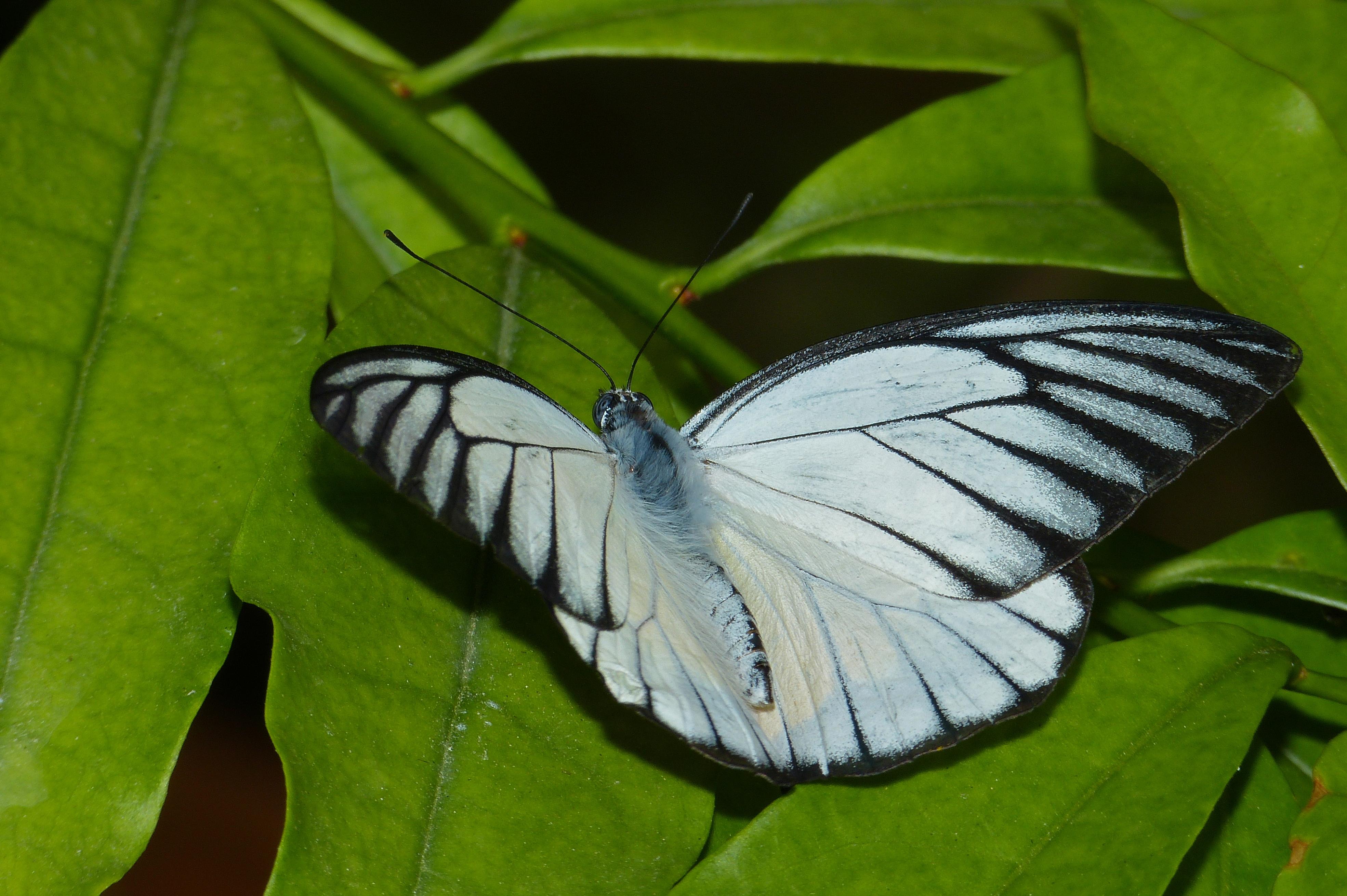 Image of <i>Appias libythea olferna</i>