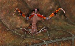 Image of Dead Leaf Mantis