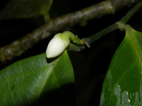 Image of <i>Gloeospermum diversipetalum</i> L. O. Williams