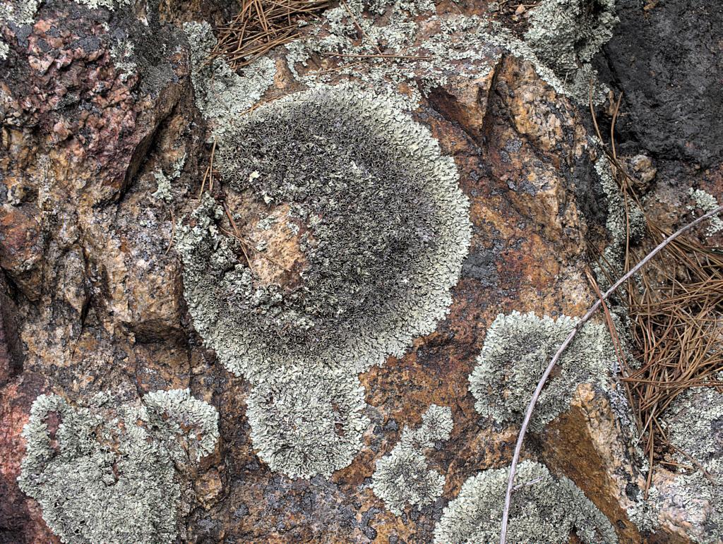 Image of <i>Xanthoparmelia cumberlandia</i> (Gyeln.) Hale