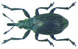 Image of <i>Betulapion simile</i> (W. Kirby 1811) W. Kirby 1811