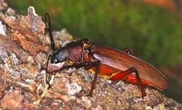 Image of <i>Macrotoma pascoei</i>