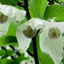 Image of Dove Tree