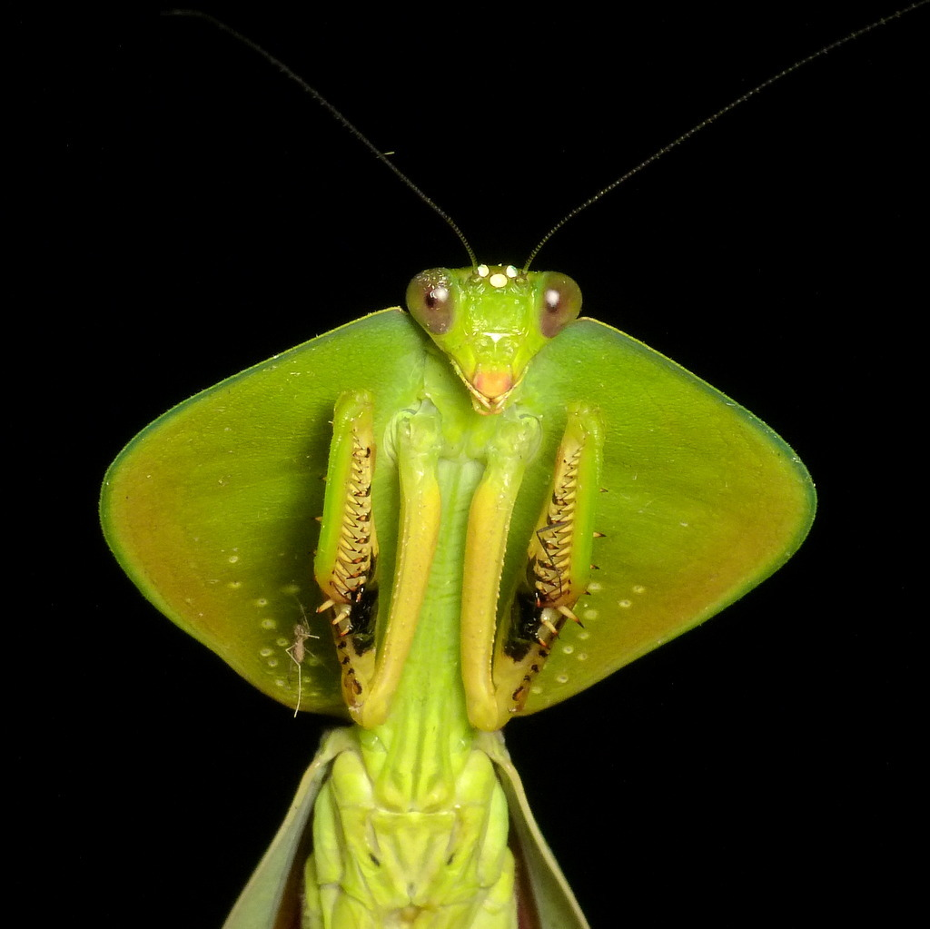 Image of Leaf Mantis