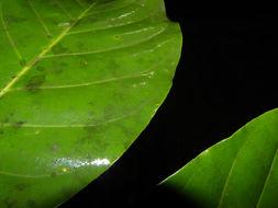 Image of <i>Chimarrhis latifolia</i> Standl.