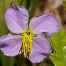 Image of Maryland meadowbeauty