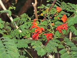 Image of <i>Caesalpinia pulcherimma</i>