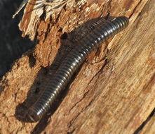 Image of <i>Cylindroiulus caeruleocinctus</i> (Wood 1864)