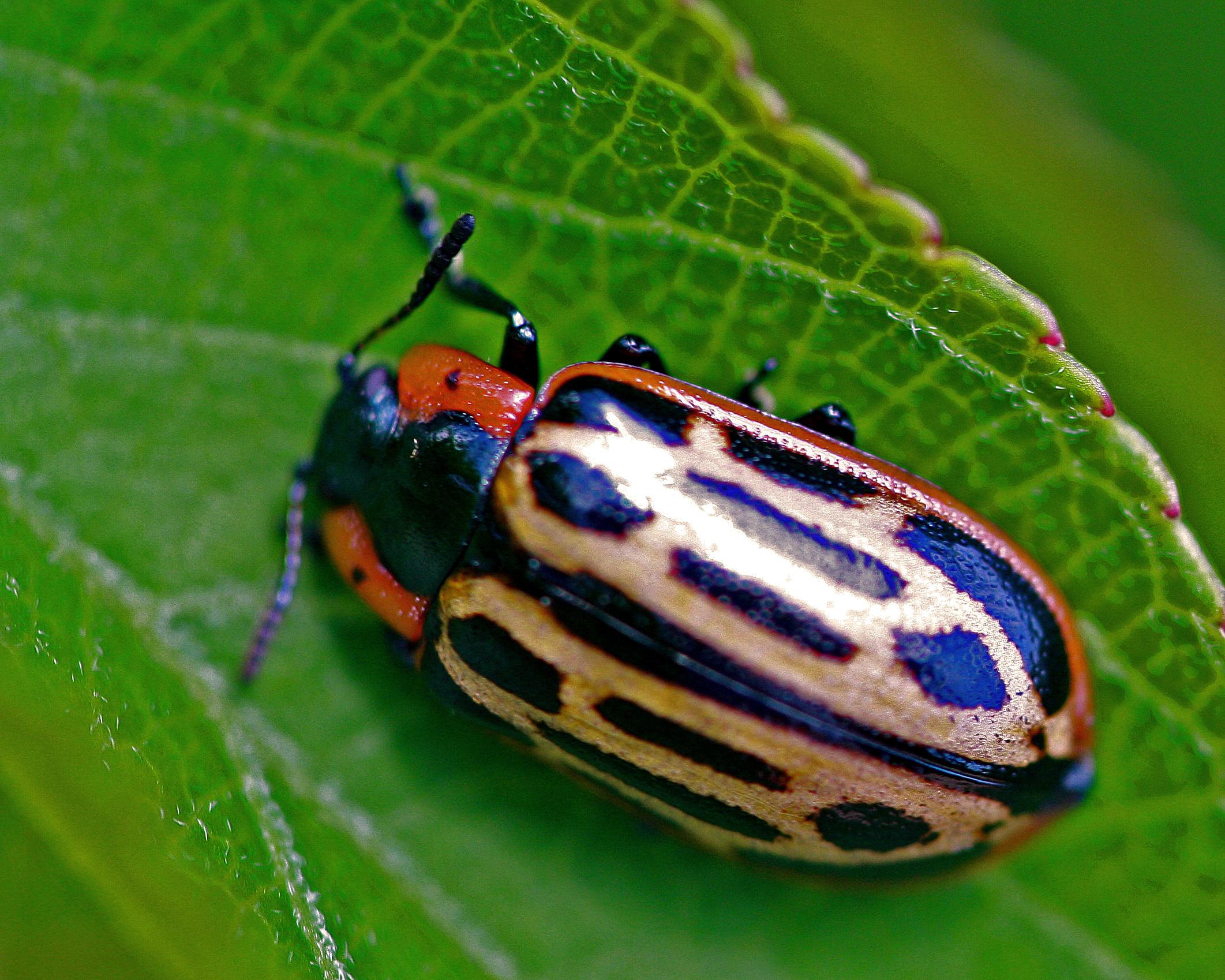 Image of Cottonwood Leaf Beetle