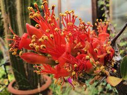 Image of <i>Fouquieria <i>splendens</i></i> ssp. splendens