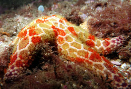 Image of mosaic sea star