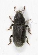 Image of <i>Hylastes cunicularis</i>