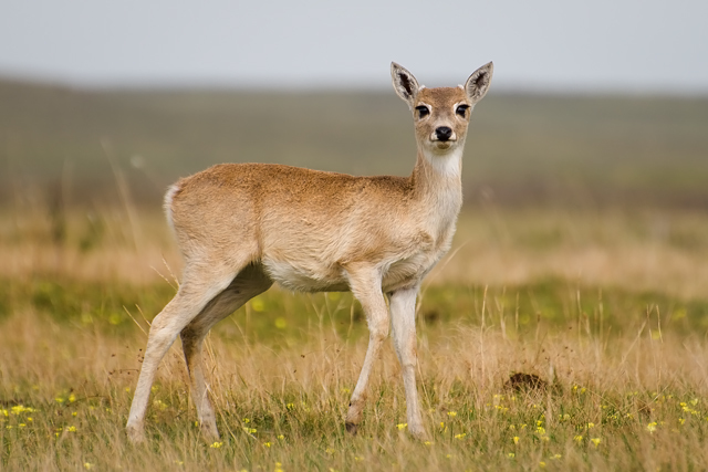 Image of Pampas Deer