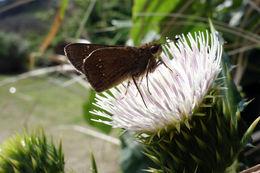Image of <i>Pelopidas mathias oberthueri</i>