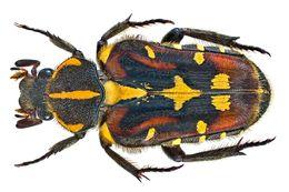 Image of <i>Euselates ornata</i> (Saunders 1852)