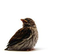 Sivun <i>Spizella <i>passerina</i></i> passerina (Bechstein 1798) kuva