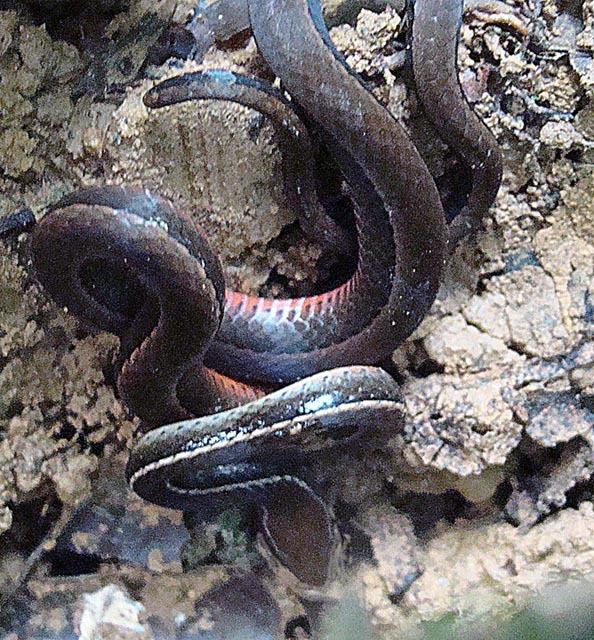 Image of Boulenger's Centipede Snake