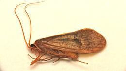 Image of <i>Stenophylax permistus</i> Mc Lachlan 1895