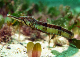 Image of Tentacled pipefish