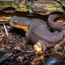 Image of Rough-skinned Newt