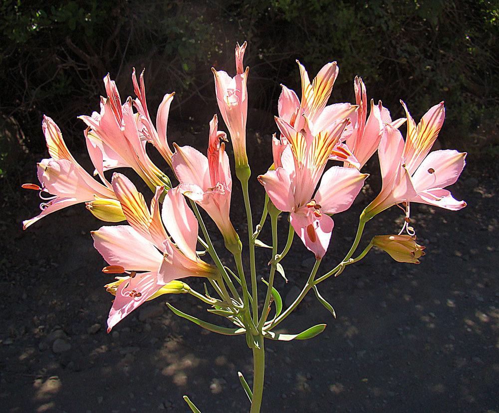 Image of <i>Alstroemeria ligtu splendens</i>