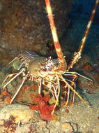 Image of Common Spiny Lobster