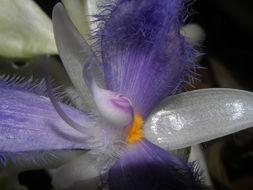 Image of <i>Cochliostema odoratissimum</i> Lem.