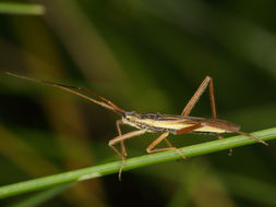 Image of Notostira elongata