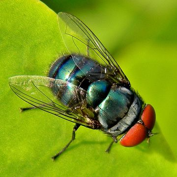 Image of Blow fly