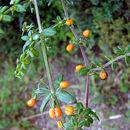 Image of <i>Galium hypocarpium</i> (L.) Endl. ex Griseb.