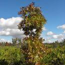 Image of American Turkey Oak