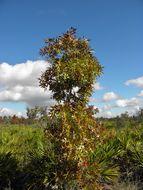 Image of Turkey Oak
