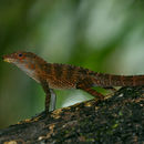 Image of Gundlach's Anole