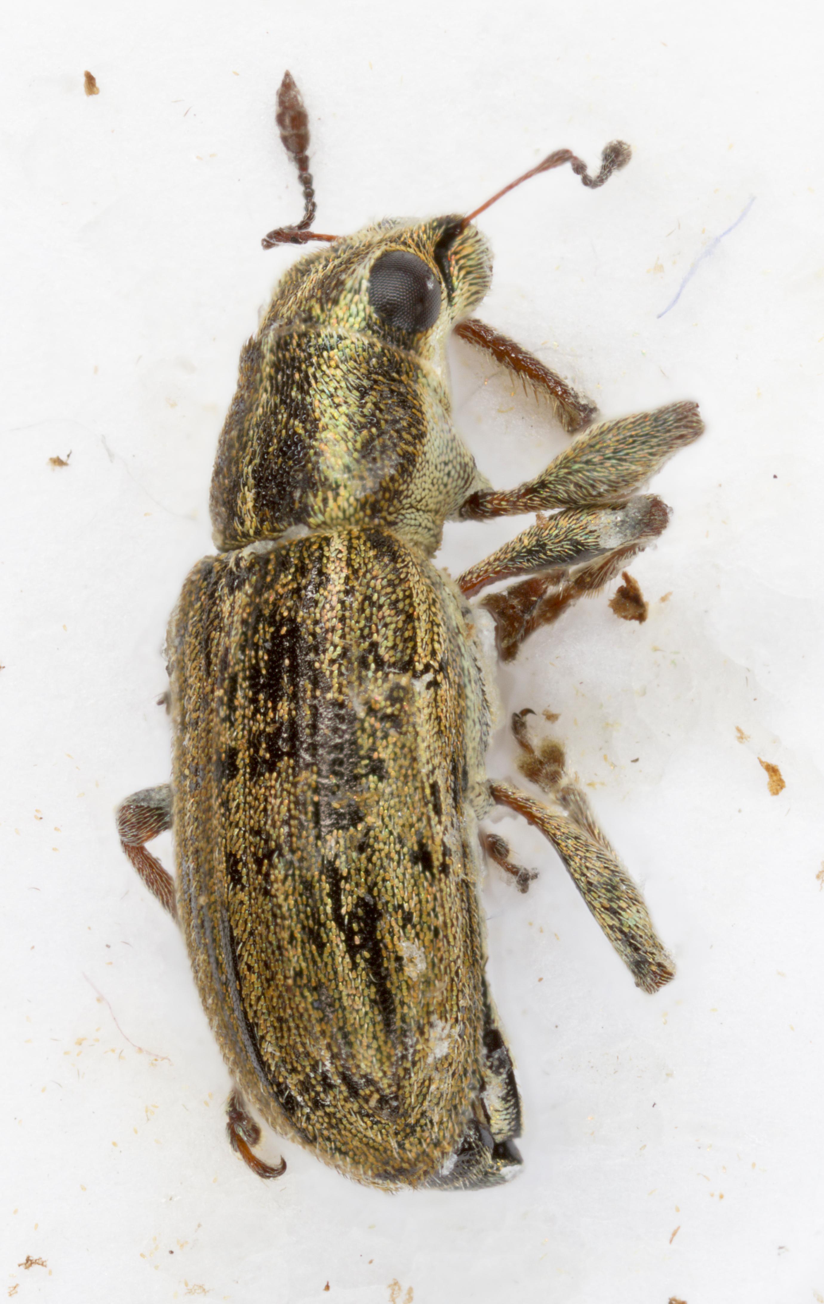 Image of Sweetclover Weevil