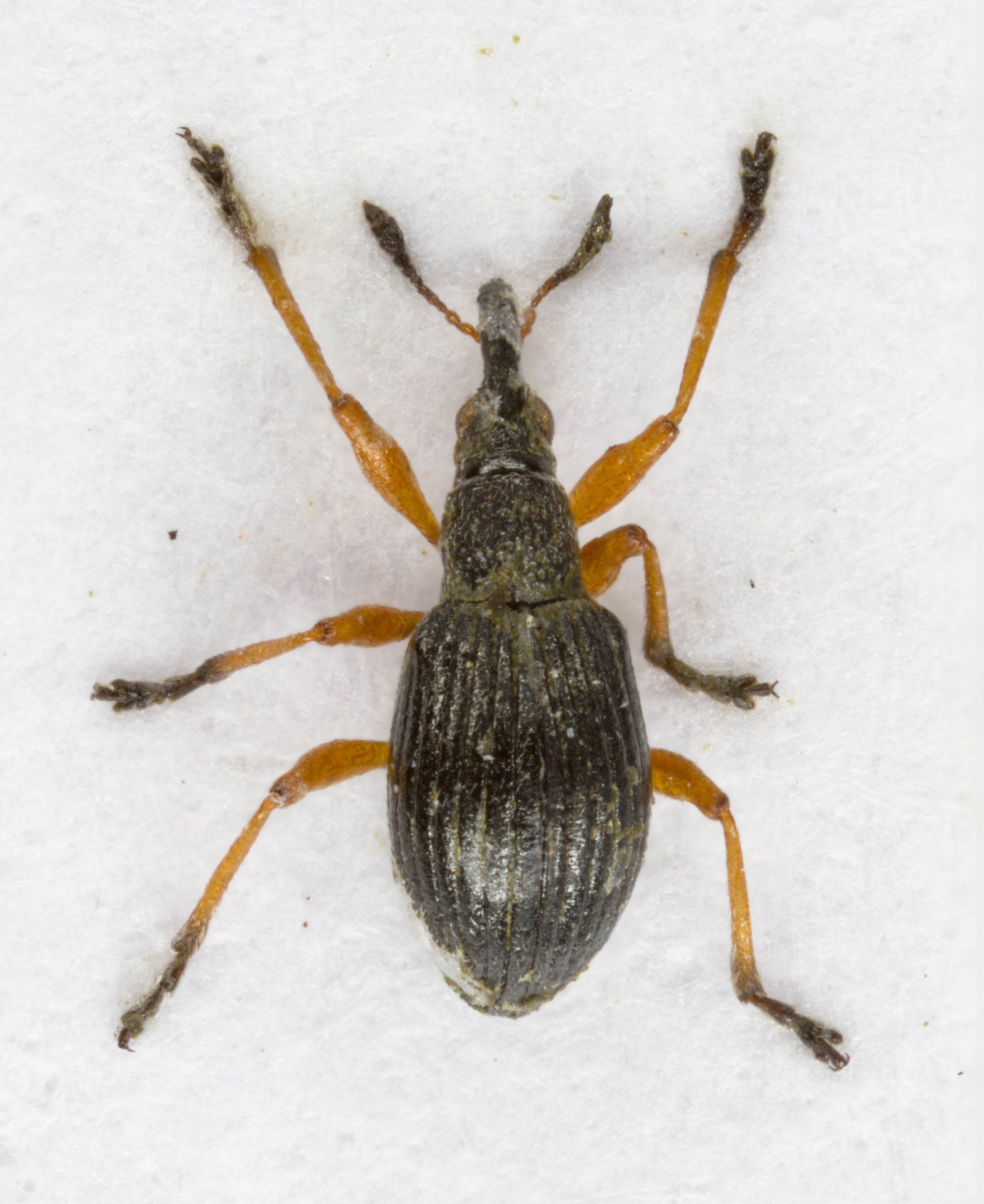 Image of white-clover seed weevil