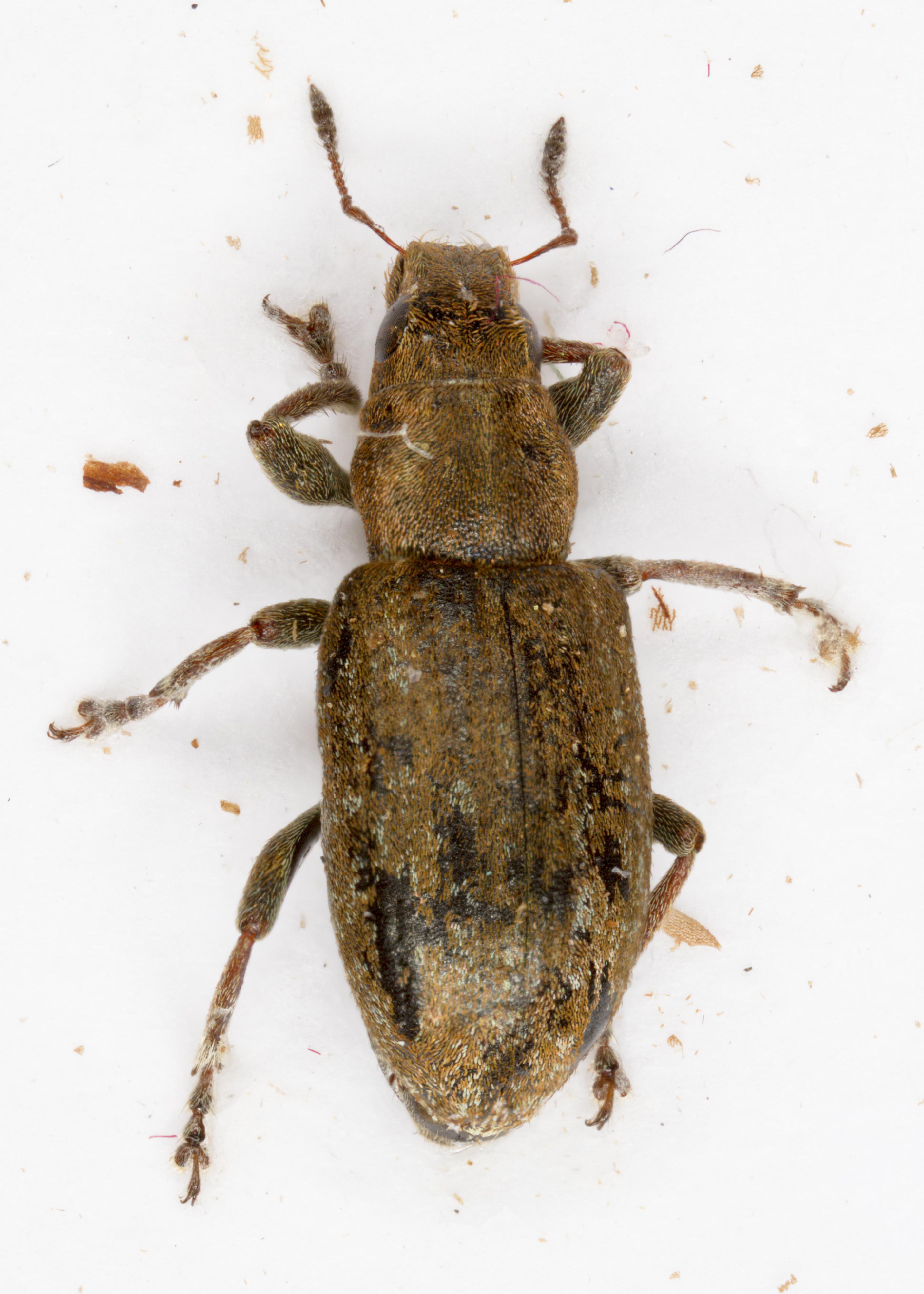 Image of <i>Sitona lepidus</i>