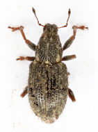 Image of Clover Root Weevil