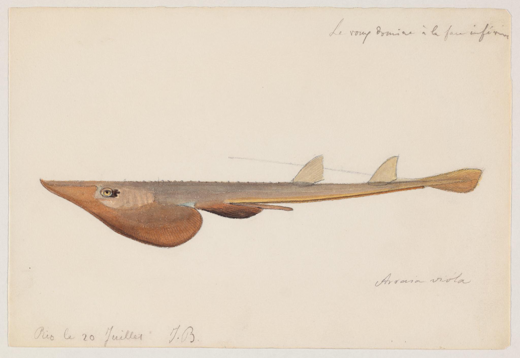 Image of <i>Rhinobatos horkelii</i>