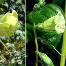 Image of <i>Chelonanthus alatus</i> Standl.