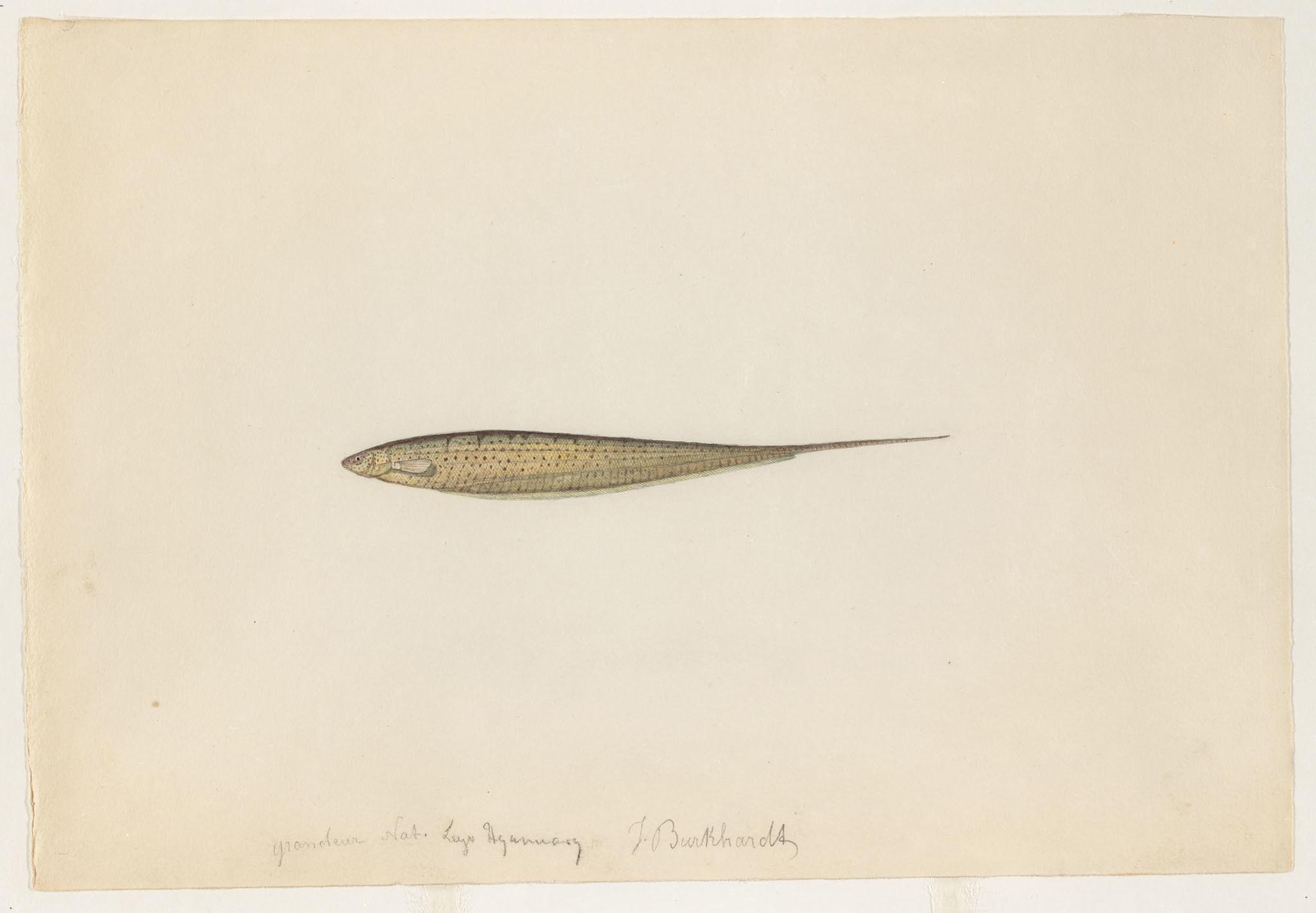 Image of <i>Brachyhypopomus beebei</i> (Schultz 1944)