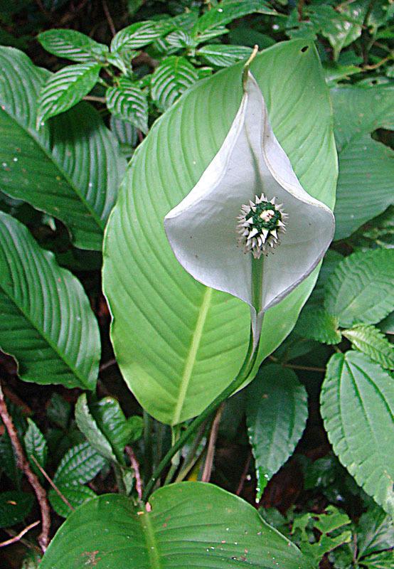Image of <i>Spathiphyllum wendlandii</i> Schott