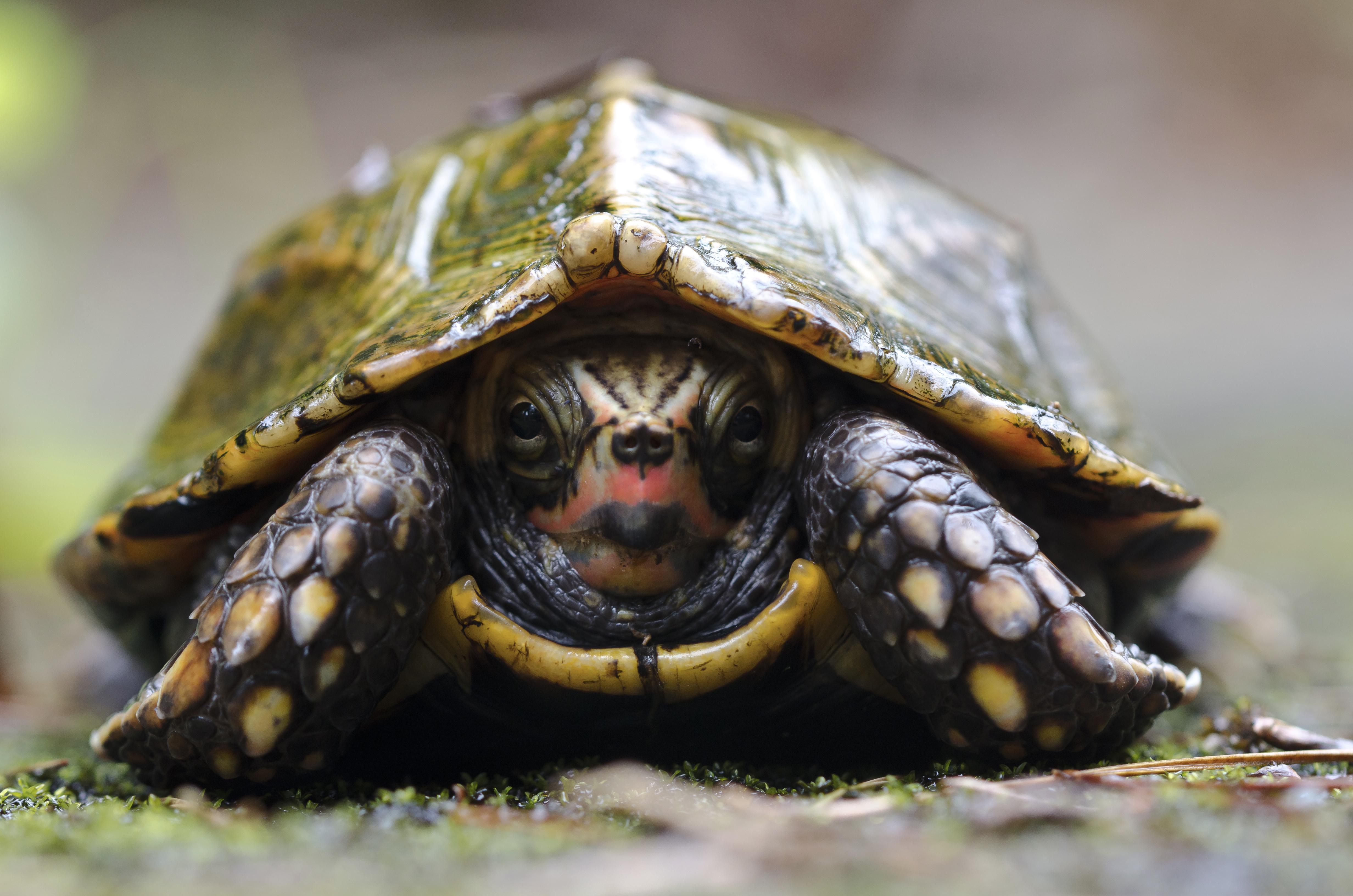 Image of Ryukyu Black-breasted Leaf Turtle